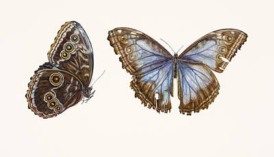 Butterfly Drawing - Blue Morpho Butterfly by Rachel Pedder-Smith