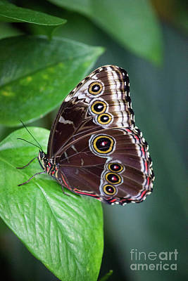 Photograph - Blue Morpho Butterfly Resting by Sharon McConnell