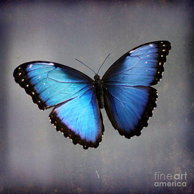 Photograph - Blue Morpho Butterfly Square by Karen Adams
