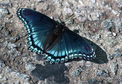 Photograph - Blue Morpho Butterfly by Suzanne Gaff