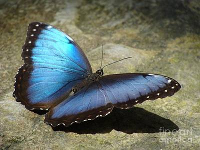 Photograph - Blue Morpho Butterfly Two by Janette Boyd