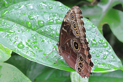 Photograph - Blue Morpho Butterfly With Raindrops by Angela Murdock