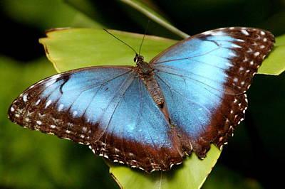 Photograph - Blue Morpho by Laurel Talabere