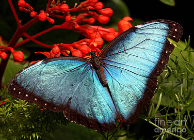 Ing Photograph - Blue Morpho by Mircea Costina Photography