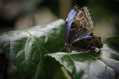 Art Print featuring the photograph Blue Morpho On A Leaf by Jason Moynihan