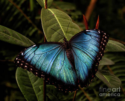 Photograph - Blue Morpho On Leaves by Ruth Jolly