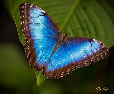 Photograph - Blue Morpho Up-close by Rikk Flohr