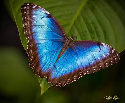 Photograph - Blue Morpho Up-close by Rikk Flohr