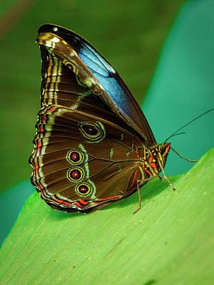 Photograph - Blue Morpho, Wings Closed by Venetia Featherstone-Witty