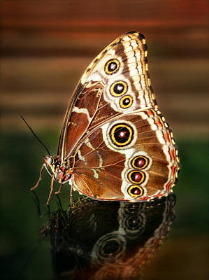 Photograph - Blue Morpho With Closed Wings by Carolyn Derstine
