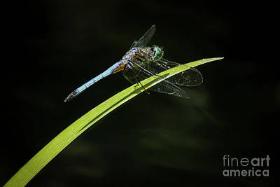Photograph - Blue Mosquitohawk by Sabrina L Ryan