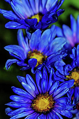Photograph - Blue Mums by Debbie Oppermann