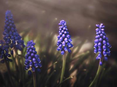 Photograph - Blue Muscari by Eduard Moldoveanu
