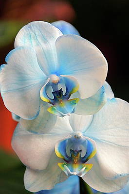 Photograph - Blue Mystique Orchids by Byron Varvarigos