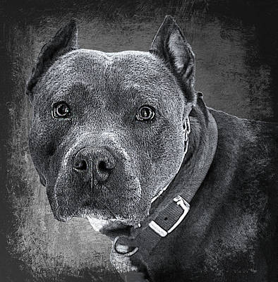 Blue Nose Pitbull Art Print by Robert Frank Gabriel
