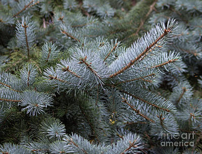 Photograph - Blue Of Spruce by Roberta Byram