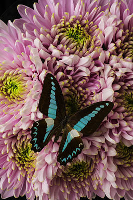 Butterfly Photograph - Blue On Pink by Garry Gay