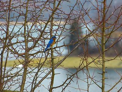 Photograph - Blue On The Limb by Donald C Morgan