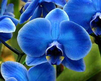 Blue Orchid Art Print by Peg Urban