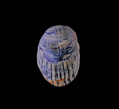Photograph - Blue Pacific Mussel Shell by Larry Bacon