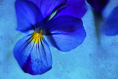 Deep Blue Photograph - Blue Pansy Art by Jenny Rainbow