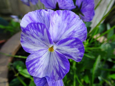 Photograph - Blue Pansy by Susan Baker