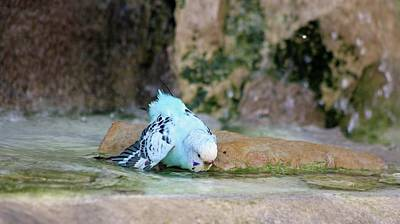 Photograph - Blue Parakeet 02 - A Day At The Spa by Pamela Critchlow