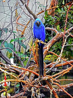 Photograph - Blue Parrots 1 by Ron Kandt