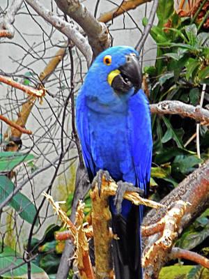 Photograph - Blue Parrots 2 by Ron Kandt