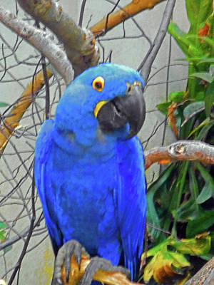 Photograph - Blue Parrots 4 by Ron Kandt