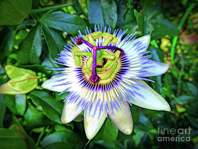Photograph - Blue Passion Flower by Sue Melvin