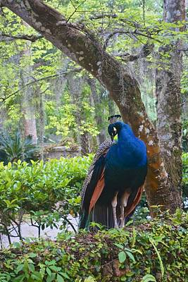 Photograph - Blue Peacock  by Joan Reese