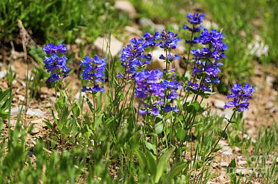 Blue Penstemon Wildflowers Art Print