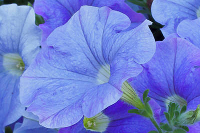 Floral Loveliness Photograph - Blue Petunia Blossom by Sandra Foster