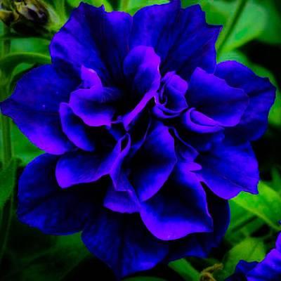Digital Art - Blue Petunia by Gayle Price Thomas