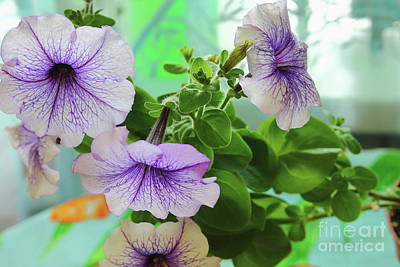 Summer Photograph - Blue Petunia. Macro by Mariia Kilina