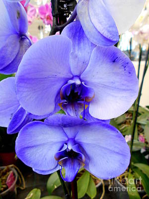 Photograph - Blue Phalaenopsis Orchid by Erika H