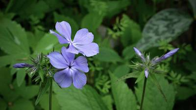 Photograph - Blue Phlox by Tim Good