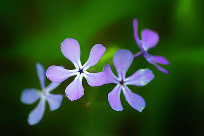 Photograph - Blue Phlox_050716_0059 by Brian Snyder