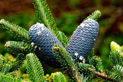 Photograph - Blue Pine Cones by Scott Hill