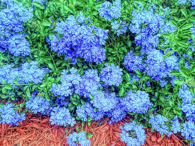 Photograph - Blue Plumbago Blossoms Bright by Aimee L Maher ALM GALLERY