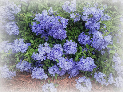 Photograph - Blue Plumbago Blossoms Faded Vignette by Aimee L Maher Photography and Art Visit ALMGallerydotcom