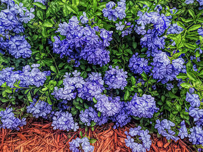 Photograph - Blue Plumbago Blossoms Fine Wine Cafe by Aimee L Maher ALM GALLERY
