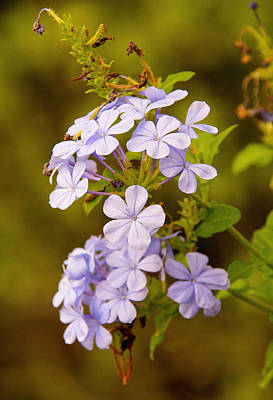 Photograph - Blue Plumbago Flowers by John Black