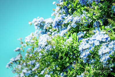 Photograph - Blue Plumbago Maui Hawaii by Sharon Mau