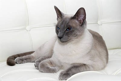 Barcelona Chair Photograph - Blue Point Siamese Lounging On White Leather by Reimar Gaertner