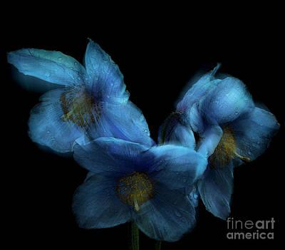 Blue Poppies Art Print by Amanda Elwell