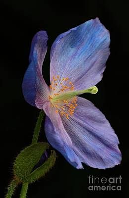 Photograph - Blue Poppy And Bud by Cindy Manero
