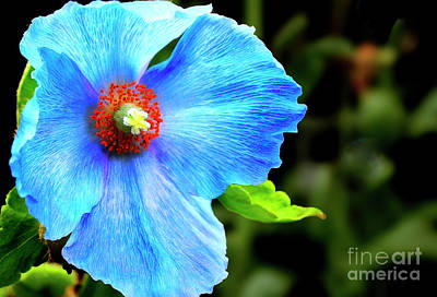 Photograph - Blue Poppy Flower by Traci Law