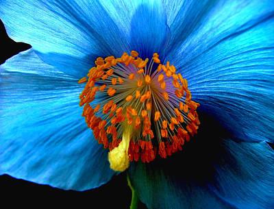Blue Poppy II - Closeup Art Print by Robert Nankervis